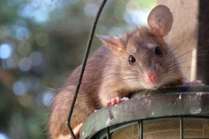Rat extermination, Pest Control in Isleworth, TW7. Call Now 020 8166 9746